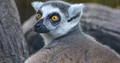Lemur at Wilstem Ranch